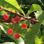 pin cherry